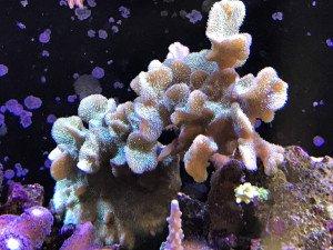 Pavona Cactus : 13 Mars 2017